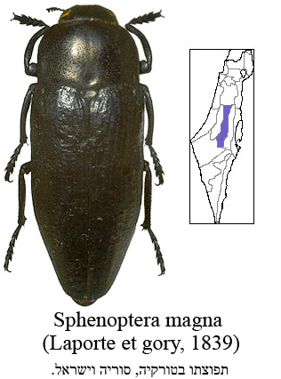 http://www.nature-of-oz.com/Sphenoptera%20magna.jpg